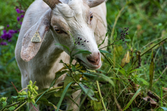 Goat Grazing Ironweed