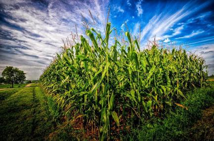 PS - Corn DSC_7883 HDR Corn_2